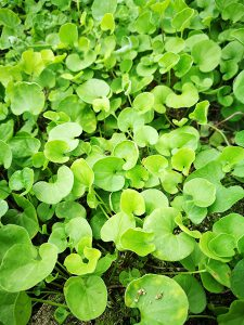 ダイカンドラ草の写真