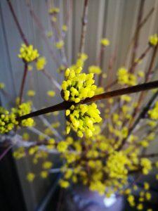 サンシュユの花|岡崎市・幸田町で外構・エクステリア・庭の設計施工を行っているサンホームズ