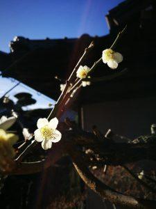梅の写真|岡崎市・幸田町で外構・エクステリア・庭の設計施工を行っているサンホームズ