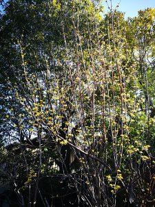サンシュユの樹形|岡崎市・幸田町で外構・エクステリア・庭の設計施工を行っているサンホームズ