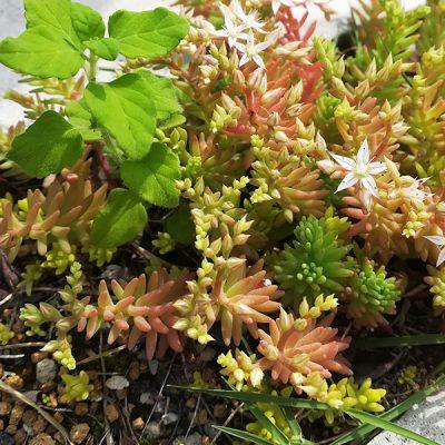岡崎市・幸田町で外構・エクステリアやお庭を含めた外構工事を手掛けるサンホームズの庭にある多肉植物はグランドカバー